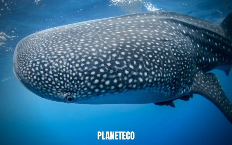 Conservation des baleines – Une solution au changementclimatique