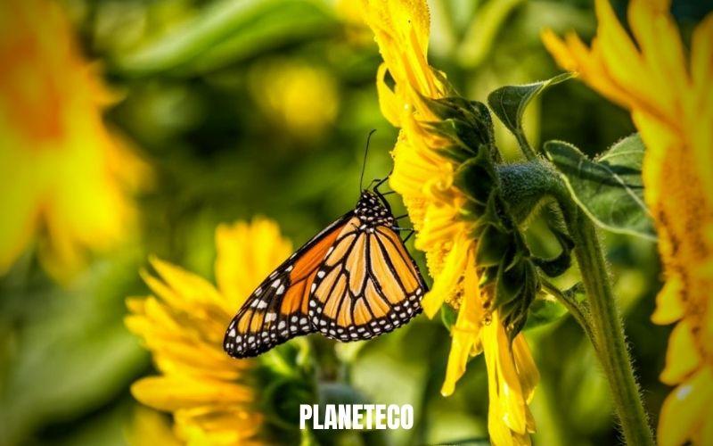 Les papillons monarques sont proches du Jugement dernier!