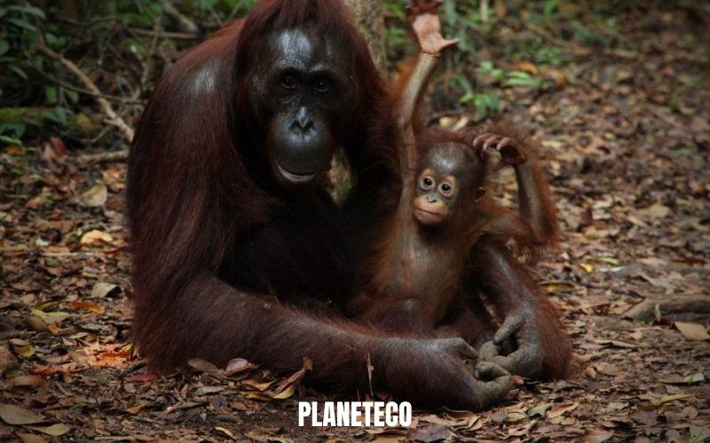 Orangs-outans – Au bord de l'extinction